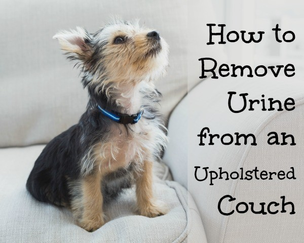 remove urine from couch