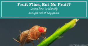 Fruit fly on a stem, with a text overlay that says Fruit flies, but no fruit