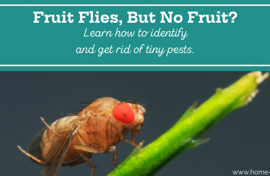 Why Do I Have Fruit Flies With no Fruit?